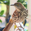 You Can't Hide From Me - Brown Thrasher