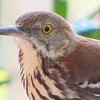 Look At Those Whiskers on the Brown Thrasher