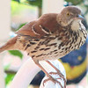 Brown Thrasher - Entertained With His Reflection in the Dining Room Window on the Front Porch_12