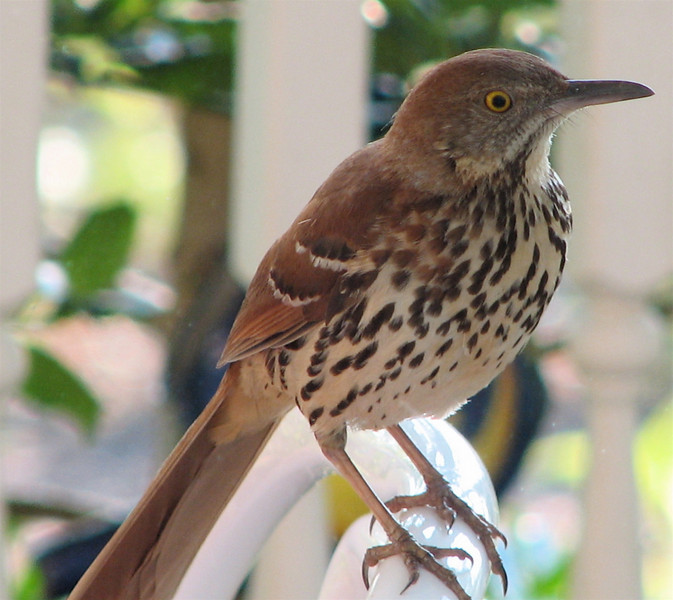 Brown Thrasher - Entertained With His Reflection in the Dining Room Window on the Front Porch_14