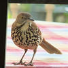 I See You Peek a Boo - Brown Thrasher