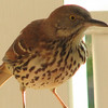 Brown Thrasher - Entertained With His Reflection in the Dining Room Window on the Front Porch_5