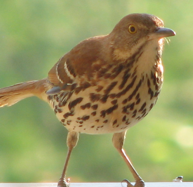 Brown Thrasher - Entertained With His Reflection in the Dining Room Window on the Front Porch_2