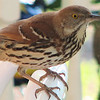 Brown Thrasher - Entertained With His Reflection in the Dining Room Window on the Front Porch_18