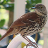 Brown Thrasher - Entertained With His Reflection in the Dining Room Window on the Front Porch_13