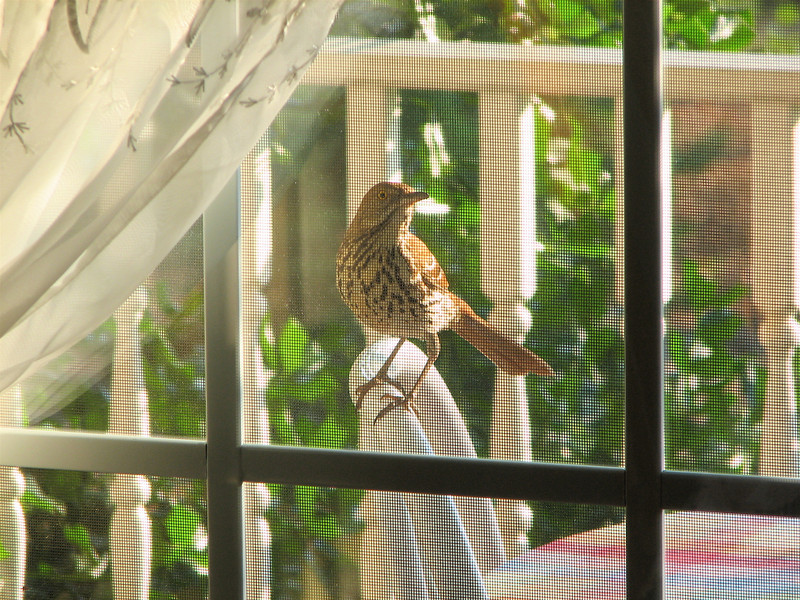 Brown Thrasher - Entertained With His Reflection in the Dining Room Window on the Front Porch_11