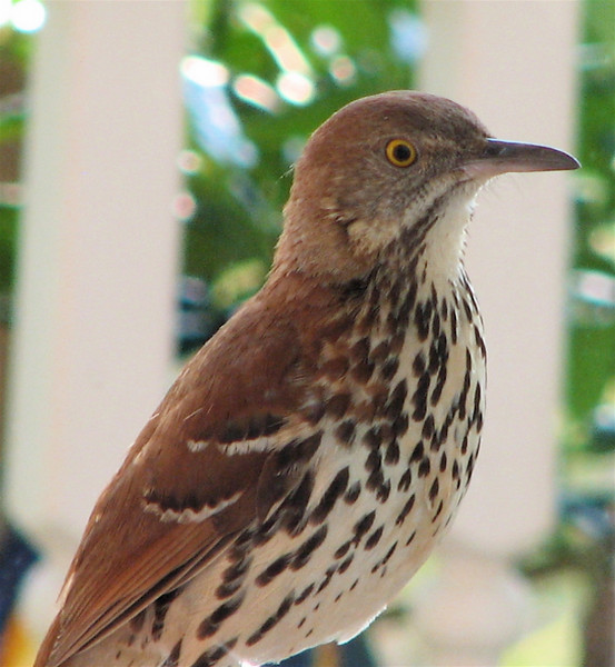 Brown Thrasher - Entertained With His Reflection in the Dining Room Window on the Front Porch