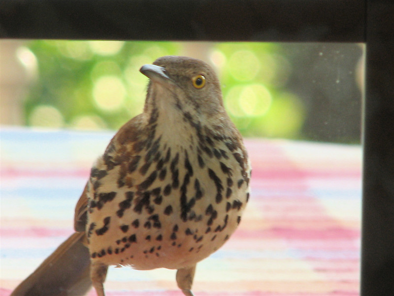 I See You Hiding Behind the Curtain - Brown Thrasher