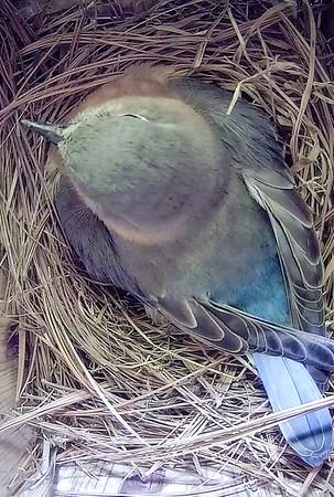 Bluebird brooding