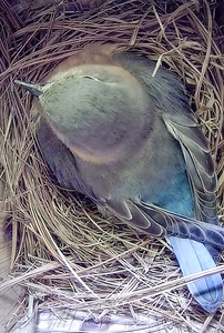 Bluebird brooding