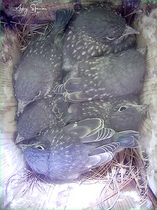 Here are the six babies the day before they fledged from the nestbox