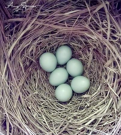 Six beautiful Buebird eggs!