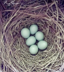 Six beautiful Buebird eggs!