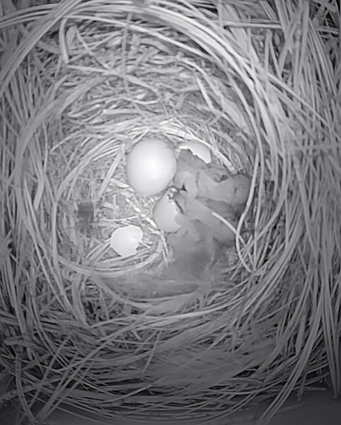 Hatching in progress!  April 29, 2018