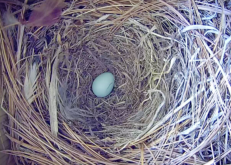 First Bluebird Egg of 2018