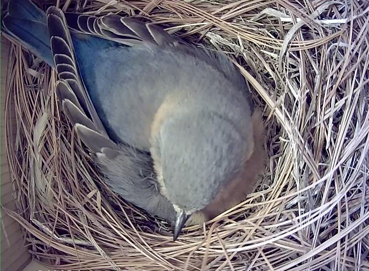 Screen shot of mother bird brooding eggs