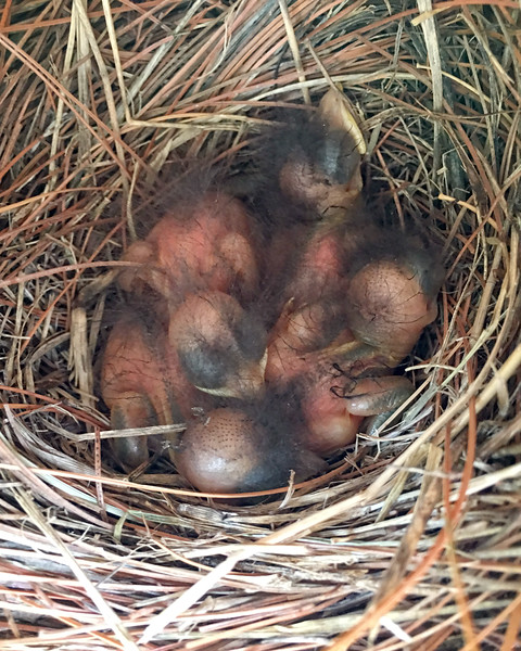 Three Day Old Bluebird Babies