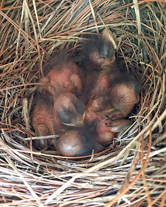 Three Day Old Bluebird Babies