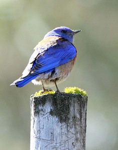 A Male Western Bluebird poses near Box 39 A