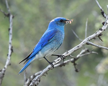 Meanwhile, at Box 111, a male Mountain Bluebird perches with insects to feed his chicks. Photo by Karen Zook.