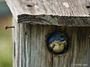 bluebird going into a nestbox