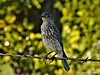 bluebird (juvenile)