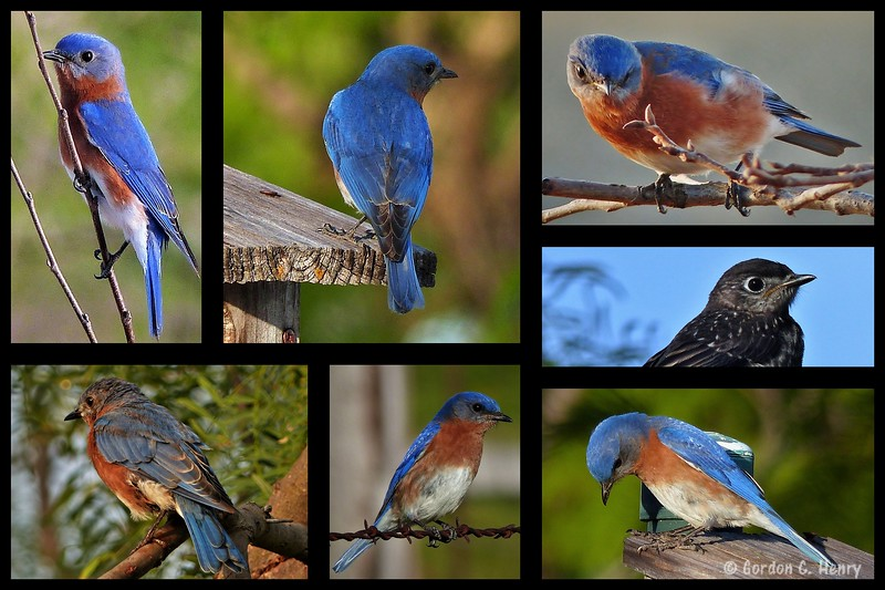 bluebirds, for 12X18 poster or print
