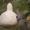 Bluebird Pair Nesting in Gourd