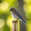 Pensive Juvenile Eastern Bluebird