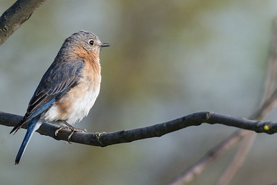 Eastern female bluebird