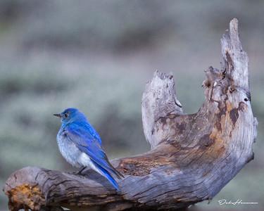 mountain bbird in WY-0026