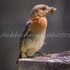 Eastern Bluebird with Worm