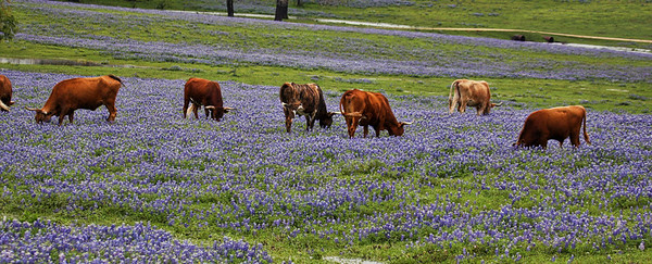 Bluebonnet Pasture