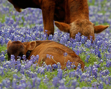 Chilling in Bluebonnets