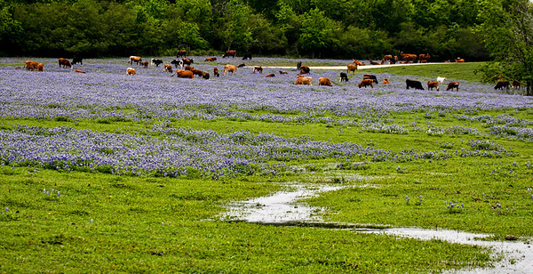 Texas Bluebonnet Pasture