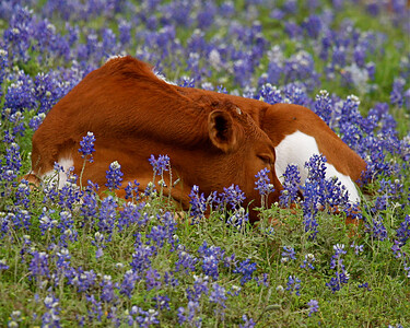 Bluebonnet Sleep