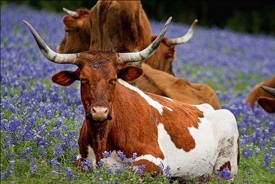 Resting In the Bluebonnets