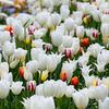 Frühlingswiese mit blühenden weißen und bunten Tulpen - Soft Focus