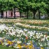 Frühlingswiese im Kurpark mit blühenden weißen und bunten Tulpen