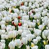 Frühlingswiese mit blühenden weißen Tulpen