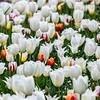 Frühlingswiese mit blühenden weißen und bunten Tulpen