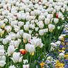 Frühlingswiese mit blühenden weißen Tulpen und bunter Blumenrabatte