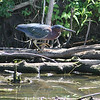 This is a green heron.  Not something we see very often, especially in Iowa.