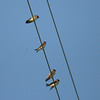 Birds on a wire.  These are cliff swallows, near a bridge over the outlet canal.