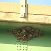 Cliff swallow nests on the underside of the bridge
