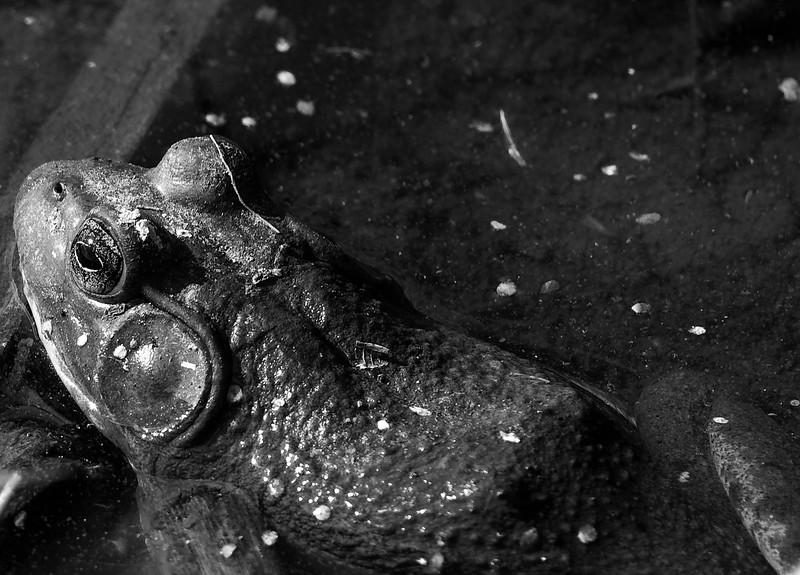Male Bullfrog
