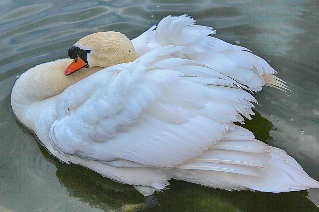 Slumbering Swan Heading West
