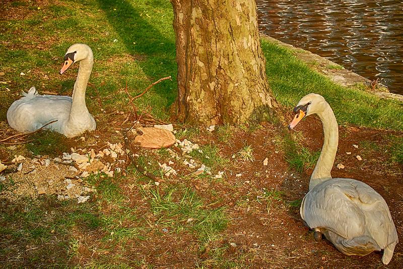 Swan Picnic
