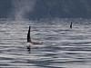 IMG_0640  Orca