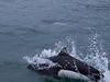 IMG_0575 Dall's Porpoise